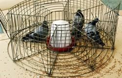 Jaula trampa selectiva para el control de palomas y otras aves